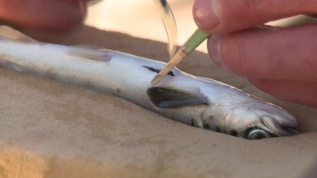 Researchers track young salmon as they head to Greenland by inserting a tracker into the fish.