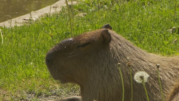 Meet Chewy the male capybara, left behind by the pair of young capybaras, or maybe they even ran away from him.