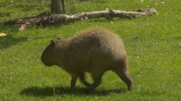 chewy the capybara