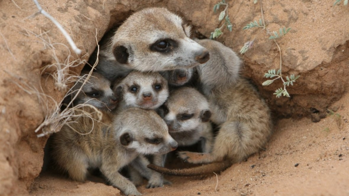 Meerkats Eat To Compete In Survival Of Fattest Home