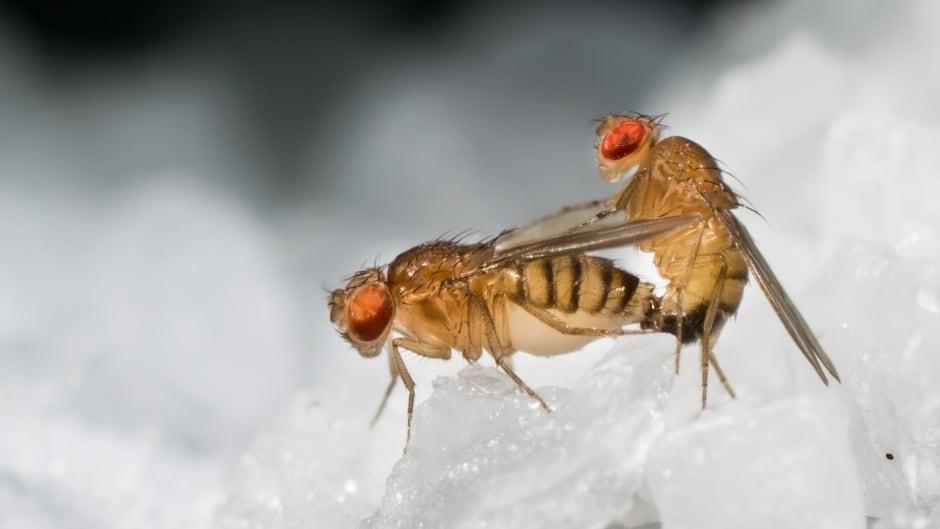 rare fruits how long do fruit flies live
