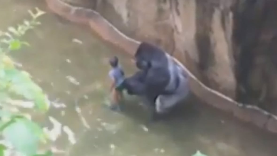Gorilla Shot Dead After Boy 3 Falls Into Enclosure At