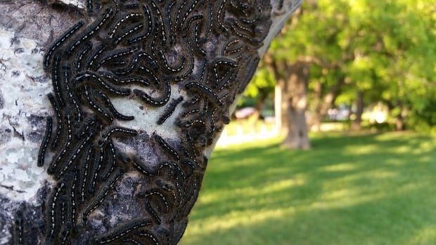 Tent caterpillars cling to a tree trunk in a Winnipeg park.