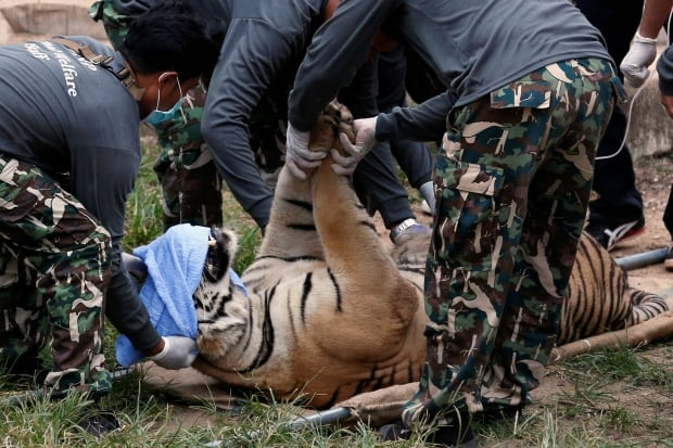 THAILAND-TIGER Temple crackdown sedated big cat May 30 2016