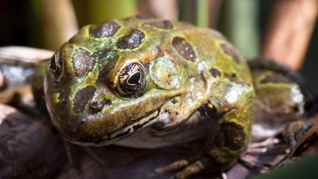 The northern leopard frog is well-established in the St-Pierre-Jolys, Man., area.