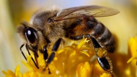Honey bee flower close up