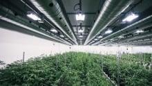 Tweed chocolate factory marijuana grow op Smiths Falls