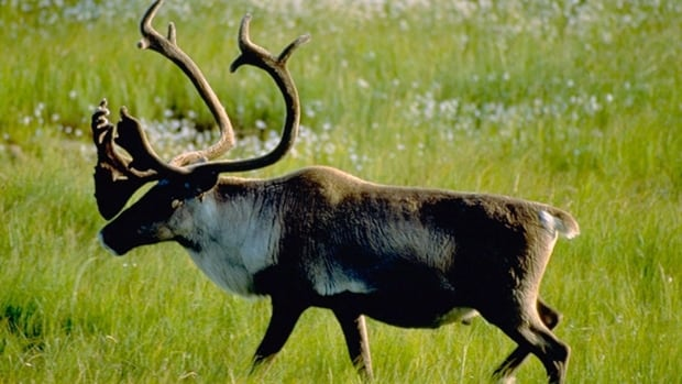 Woodland caribou was listed under the Species at Risk Act as threatened in 2003, but its 'recovery strategy' wasn't released until 2012.