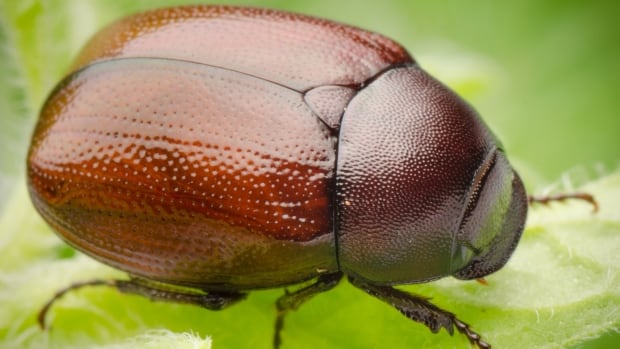 Why this researcher loves the furious flutter of June bug wings