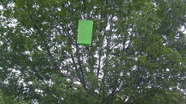 Approximately 50 traps will be hung in ash trees along boulevards in Thunder Bay, Ont.,  for the purpose of monitoring the area for the Emerald Ash Borer.