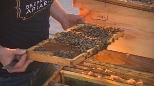 Downtown beehives, urban beekeeping, bees,