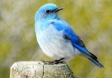 Mountain bluebird in Calgary