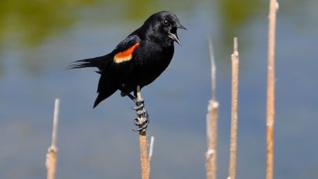Red-winged blackbird in Calgary