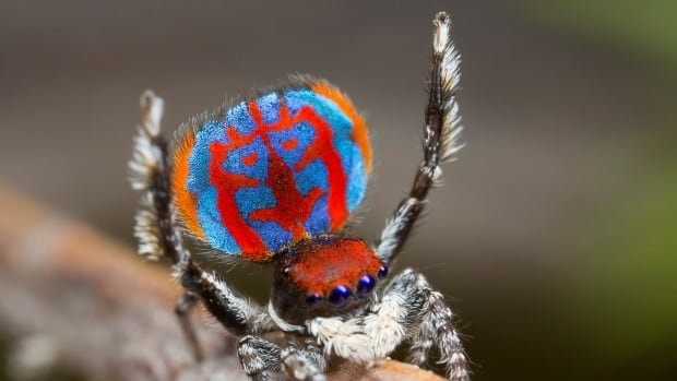 A specimen of the newly-discovered Australian Peacock spider, Maratus Bubo, shows off his colourful iridescent scales.