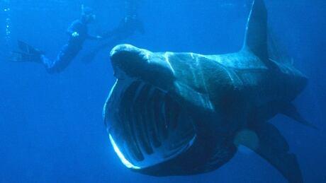 Basking shark divers
