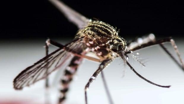 Zika A. aegpti mosquito