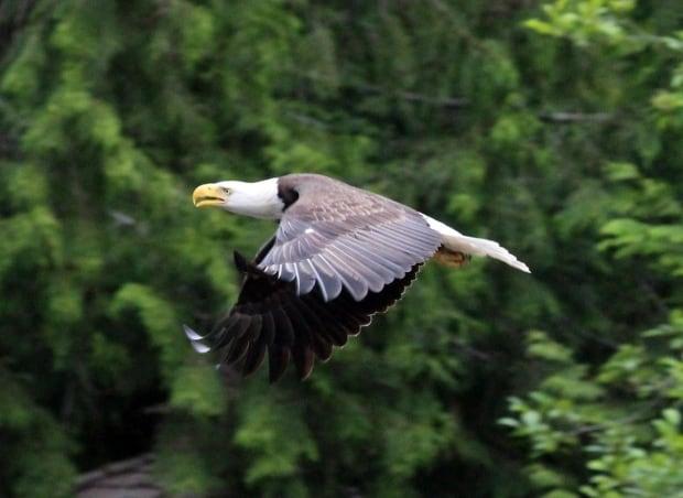 Goose vs eagle 2
