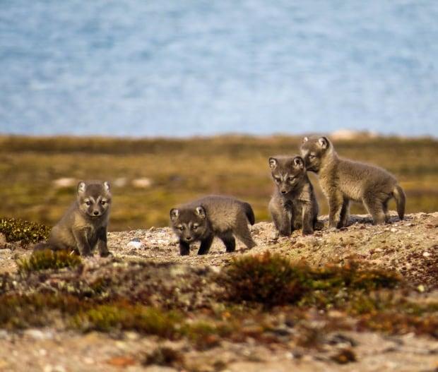 Arctic foxes 3