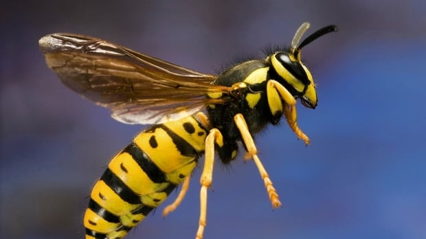 There are more of these yellow jacket wasps in Calgary this year due to high temperatures and sustained warm weather.