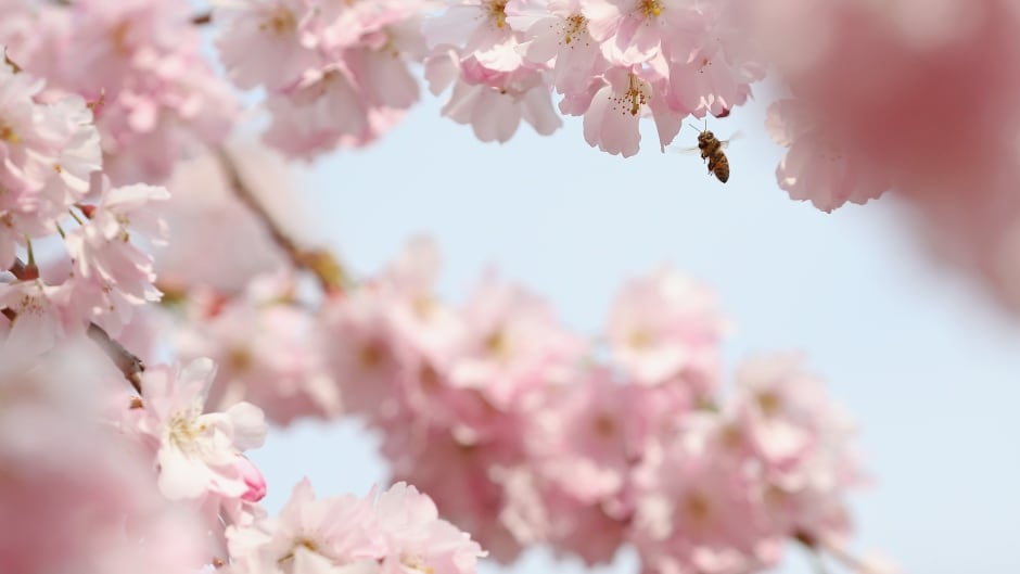 LONDON, ENGLAND - APRIL 11: A bee pollinates blossom on April 11, 2016 in London, England. Blossom has flowered as milder weather begins to arrive, though wintery weather delivered snow to northern parts of the United Kingdom over the weekend. (Photo by Dan Kitwood/Getty Images)