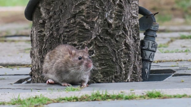An increase in rat infestations has been linked to colder weather and frozen ground.