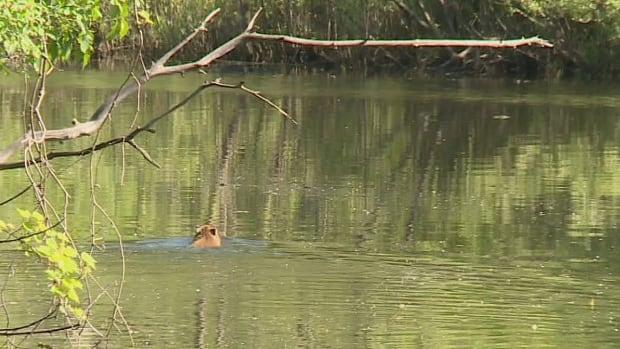 capybara sighting friday swimming