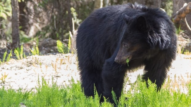 A black bear eats weeds at the side of a highway in this file photo. Numerous black bears have been spotted recently in a closed area near Canmore, where a local woman was attacked on the weekend, according to WildSmart.