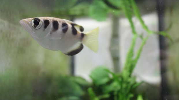 The archerfish can spit water out of its mouth to knock an insect off an overhanging plant then swim to where the insect landed and eat it.