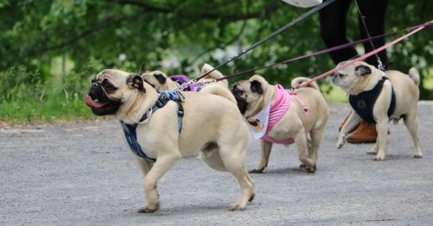spca dog walk