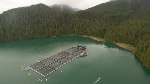 A harmful algae called Chrysochromulina has been killing fish at two Cermaq salmon farms in Clayoquot Sound.