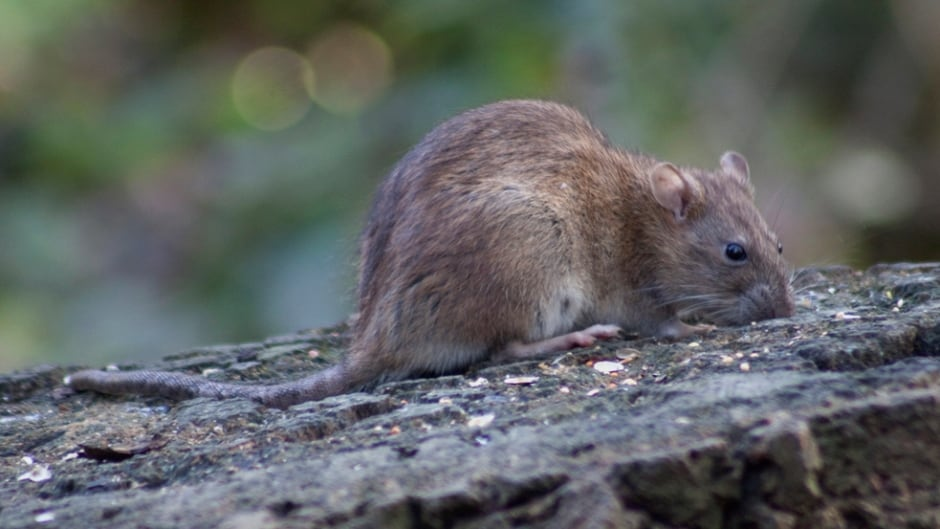 'Rats have been causing human illness in Brazil long before Zika,' says Chelsea Himsworth, lead researcher for the Vancouver Rat Project.
