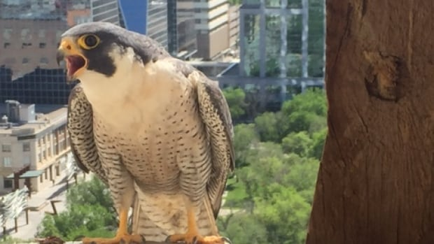 A peregrine falcon sits on top of Regina's City Hall.