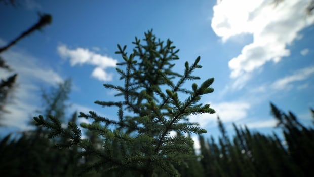 A new study has found that in Quebec north of the 49th parallel, black spruce seem to thrive and grow better in warmer, drier years, which are expected to become more frequent with climate change.