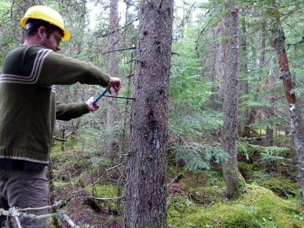 Coring black spruce