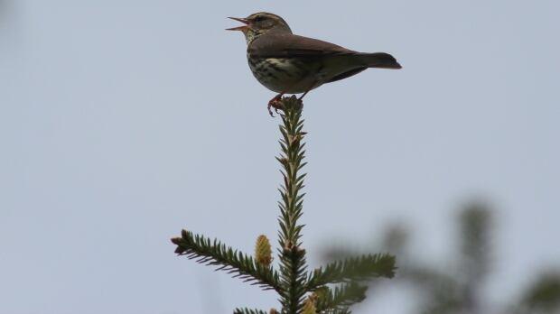 Northern waterthrush spruce tree