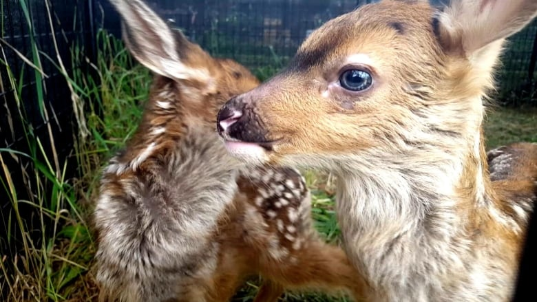 Fawns on the lawn: Deer gives birth to twins on campus quad — again