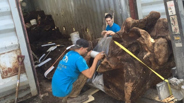 The Royal Ontario Museum begins the process of removing blue whale bones from composting bins.