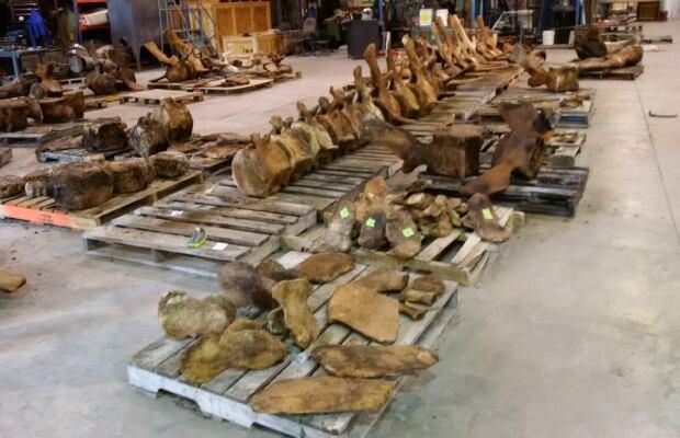 Blue whale bones