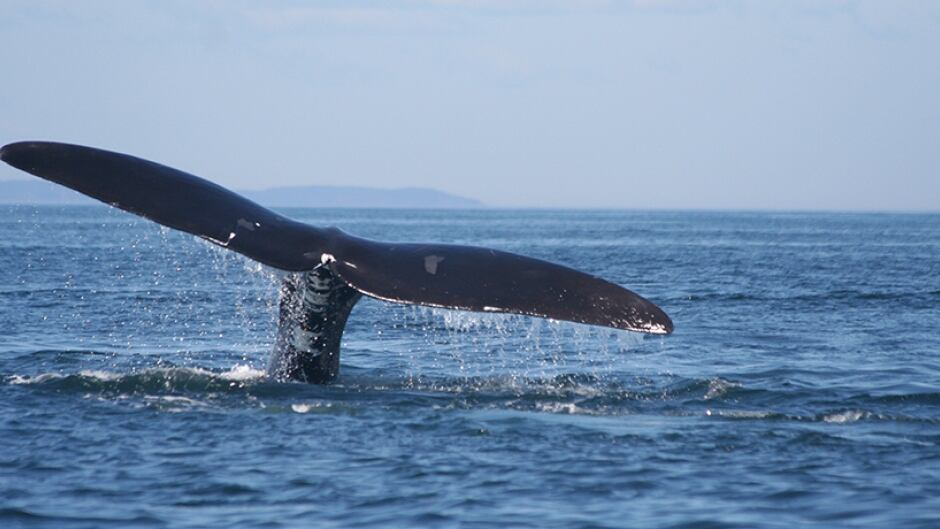 A right whale in the Bay of Fundy.