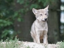 In Banff, Alberta, people and wolves have always had a complicated relationship. Wolves have been wiped out from the area numerous times over the past 100 years. Now, they're back — but down to just three when at the beginning of last summer there were at least nine. So what's happening to the Bow Valley wolf pack?
