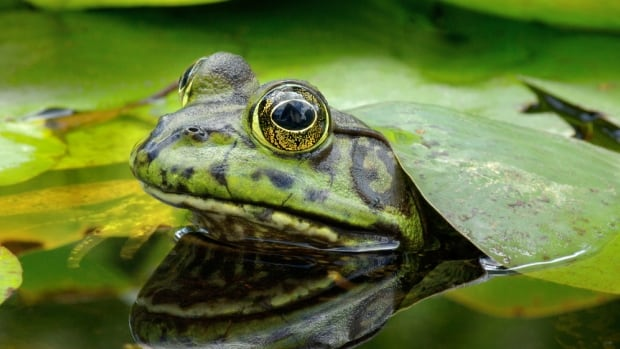 The invasive American bullfrog has been the focus of extensive eradication efforts on southern Vancouver Island.