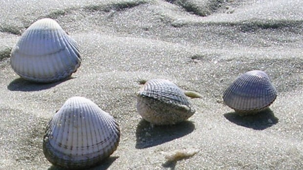 Spanish scientists collected cockles (Cerastoderma edule) in the ria of Arousa in Galicia, Spain. Contagious leukemia was found in cockles, mussels and golden carpet shell clams.