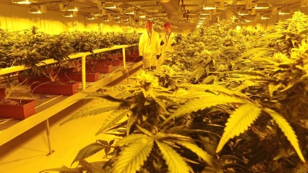 Aurora Cannabis' sprawling 55,000-square-foot medical marijuana production facility contains 10 of these grow rooms.