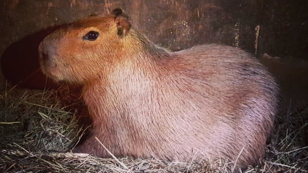The tale of runaway rodents has ended as the second capybara was found and returned home to Toronto's High Park Zoo, more than a month after the two escaped.