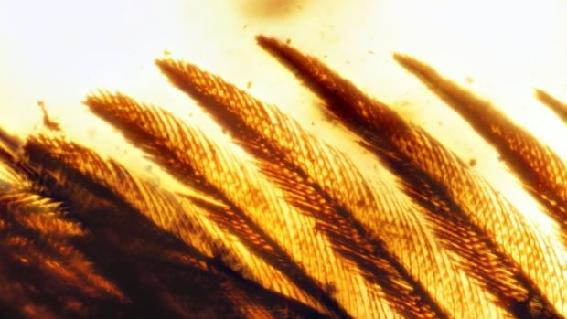 Scientists have found samples of amber containing the beautifully preserved wings of birds that lived 99 million years ago, complete with different kinds of feathers still attached to the skin.