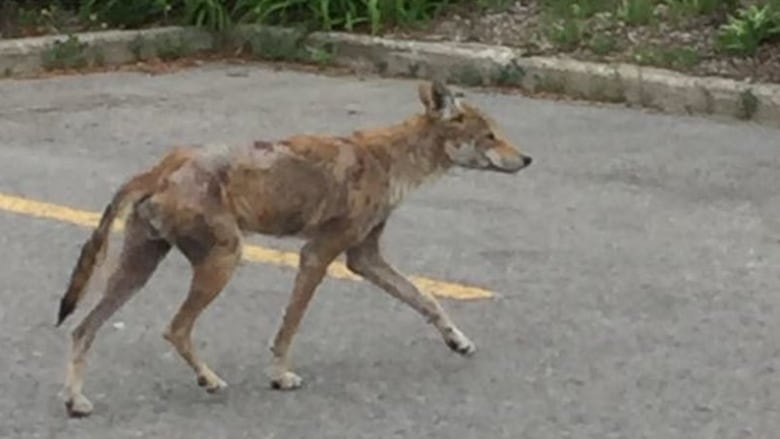 Sick coyote