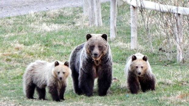 A mother grizzly and two cubs were shot and killed illegally in Granisle in northwest B.C.