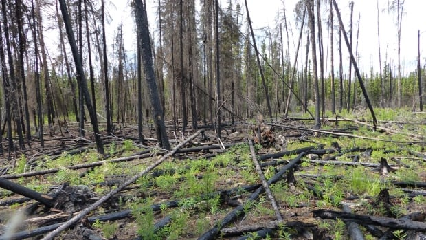 A forest in Northern Saskatchewan has dramatically changed in its landscape following fires last year.
