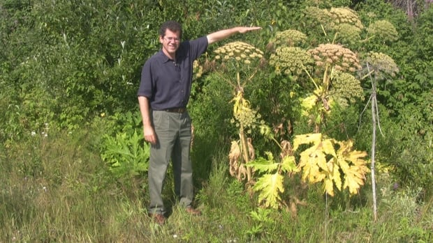 Sudbury's Manager of Environmental Planning Initiatives, Stephen Monet, stands beside giant hogweed to show the height of the dangerous plant