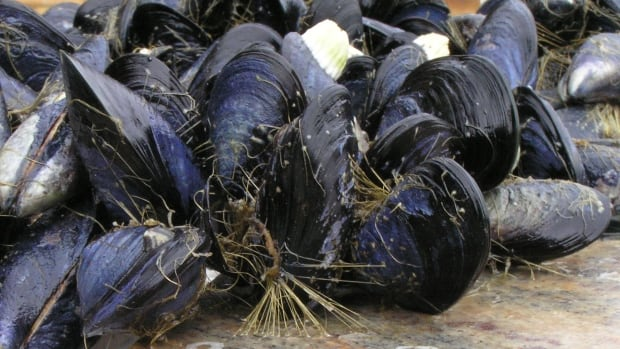 As oceans warm and get more acidic, mussels are going to have a tougher time holding on, according to a University of Washington study.